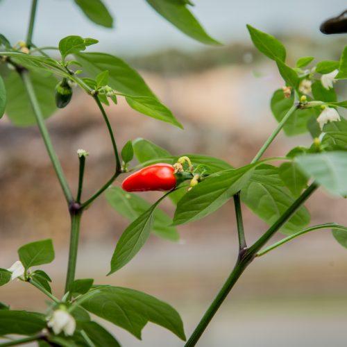 Närbild planta med gröna blad och en röd liten paprika